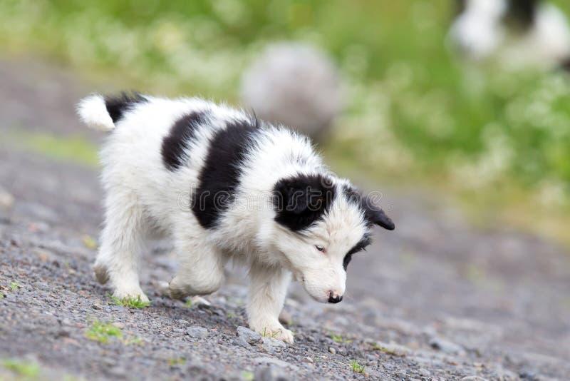 Pequeño perrito del border collie en una granja foto de archivo libre de regalías