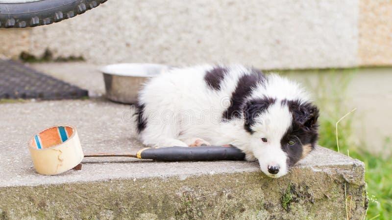 Pequeño perrito del border collie en una granja, descansando fotografía de archivo libre de regalías