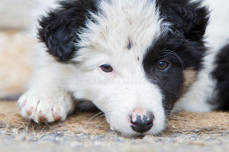 Pequeño perrito del border collie en una granja, descansando fotografía de archivo