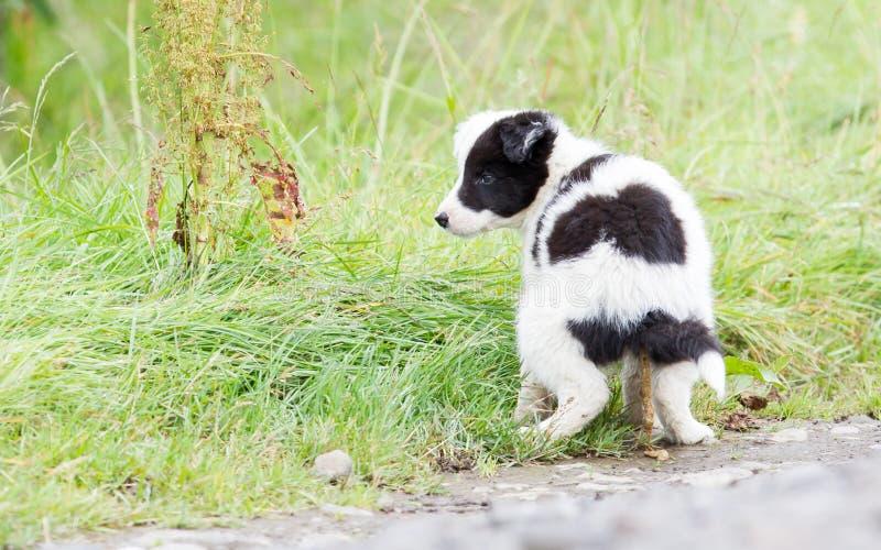 Pequeño perrito del border collie en una granja, pooing fotos de archivo libres de regalías