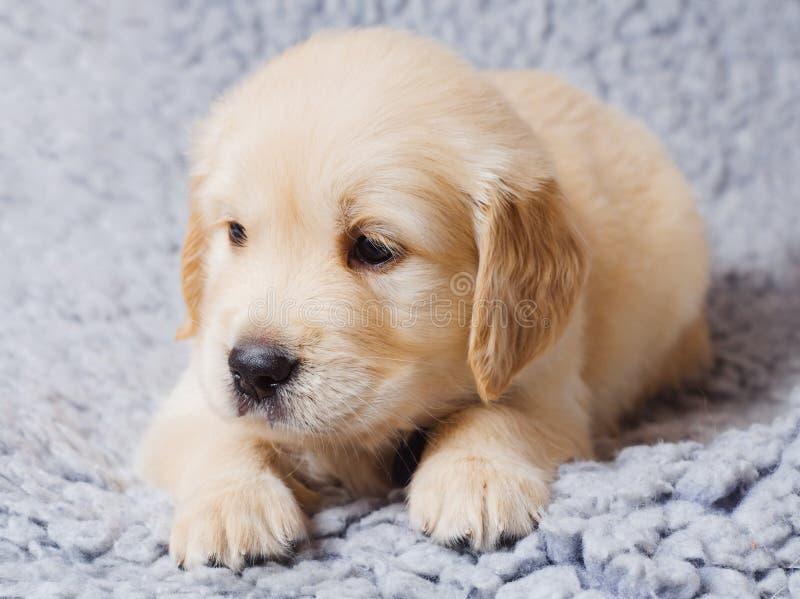 Pequeño perrito del perro perdiguero imágenes de archivo libres de regalías