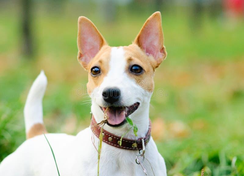 Pequeño perrito divertido del perro de Jack Russell Terrier con la boca llena de hierba imágenes de archivo libres de regalías
