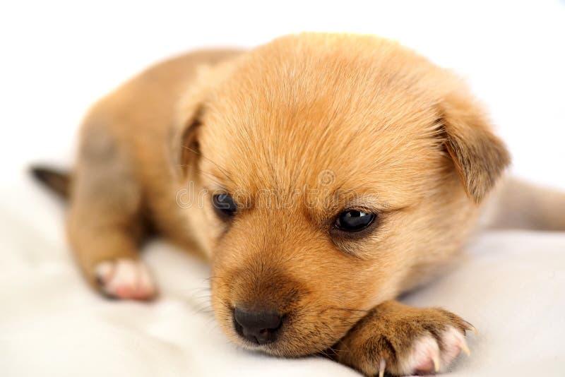 Pequeño perrito en el fondo blanco foto de archivo
