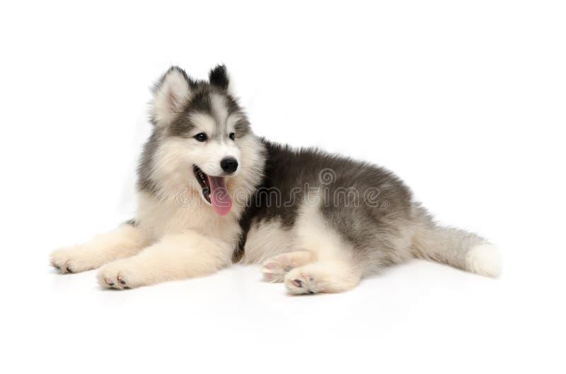 Pequeño perrito fornido lindo aislado en el fondo blanco imagen de archivo