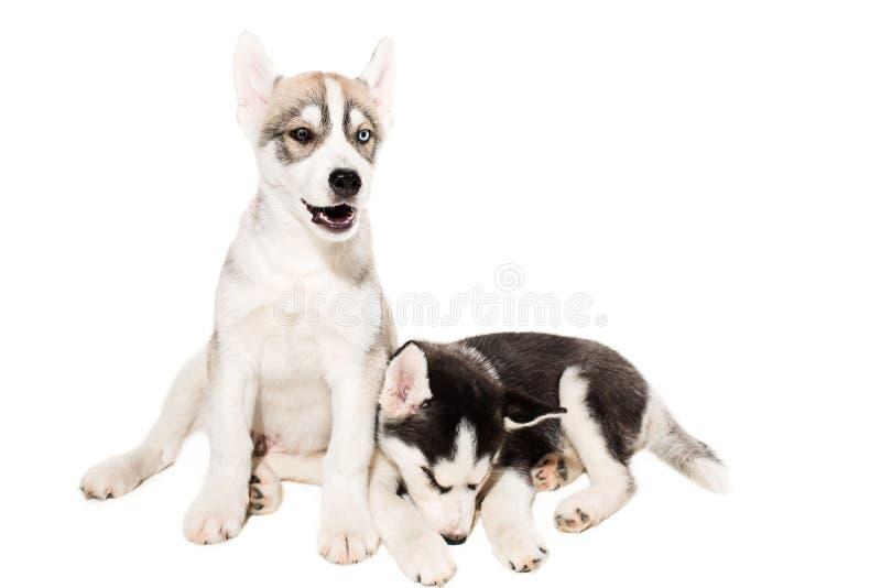 Pequeño perrito fornido lindo aislado en el fondo blanco fotos de archivo