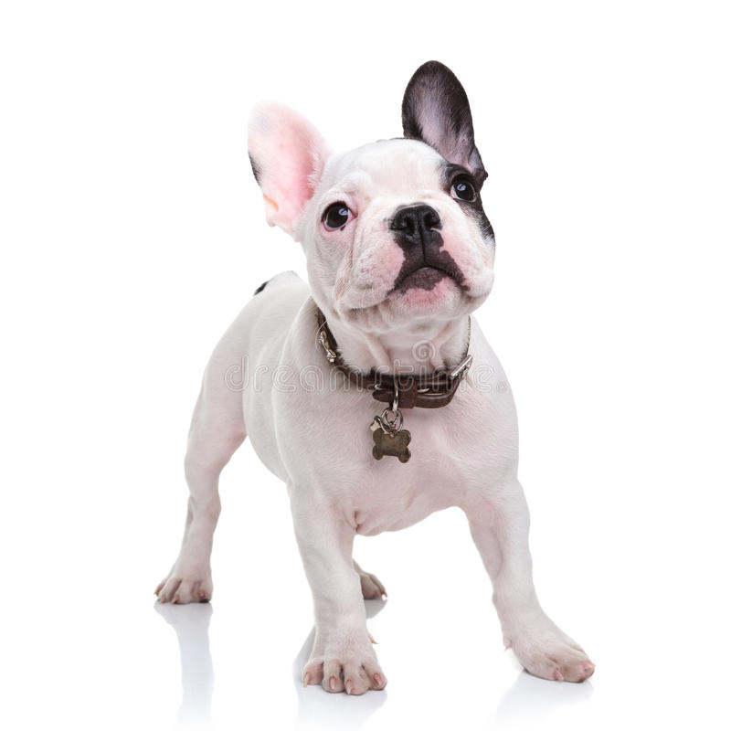 Pequeño perrito lindo del dogo francés que se coloca en el fondo blanco imagen de archivo