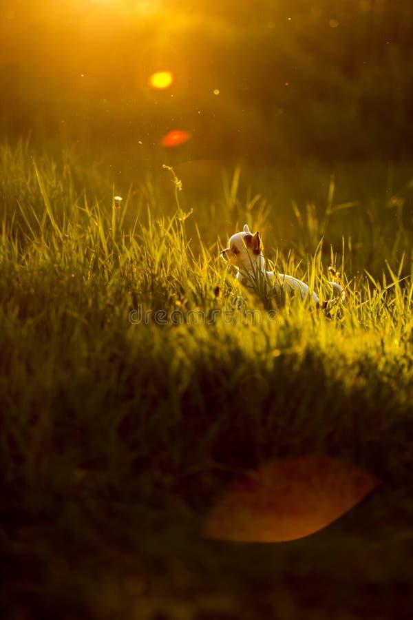 pequeño perrito lindo del perro de la chihuahua en hierba hierba de la hierba verde en fondo Puesta del sol imagen de archivo libre de regalías