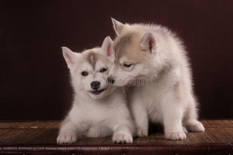 Pequeño perrito lindo dos del perro del husky siberiano fotos de archivo