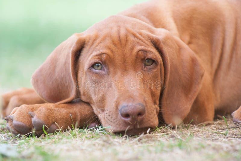 Pequeño perrito lindo que miente en hierba foto de archivo