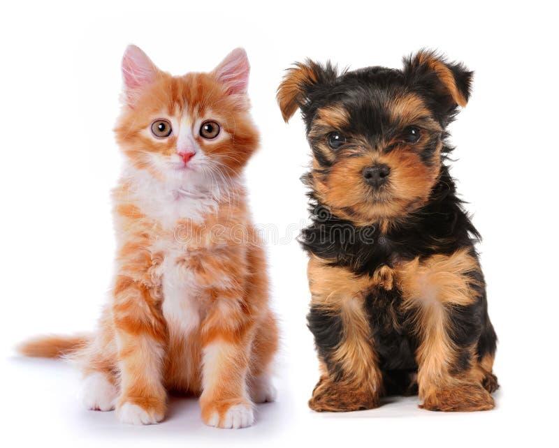 Pequeño perrito lindo y gatito rojo aislados en blanco fotografía de archivo libre de regalías