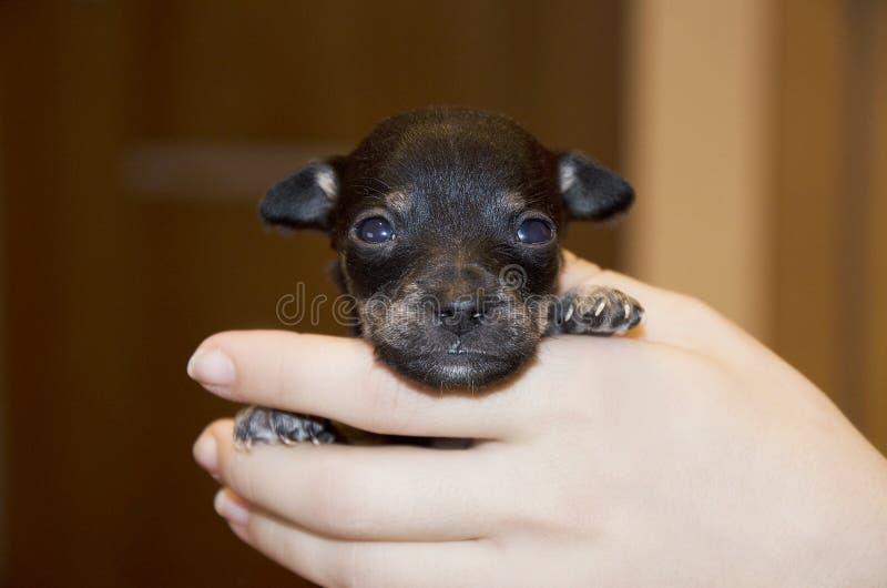 Pequeño perrito negro minúsculo en sus brazos imágenes de archivo libres de regalías
