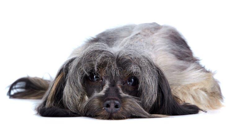 Pequeño perrito lanudo decorativo imagen de archivo