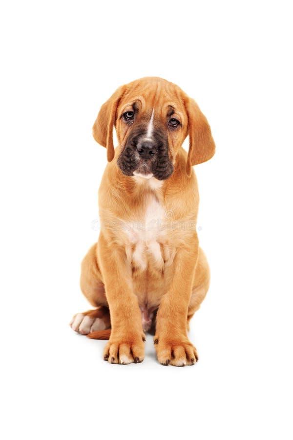 Pequeño perrito triste del corso del bastón que mira la cámara fotos de archivo libres de regalías