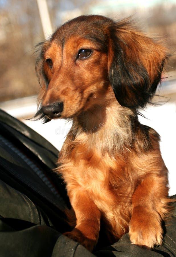 Pequeño perro foto de archivo