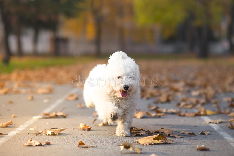 Pequeño perro blanco en funcionamiento fotografía de archivo