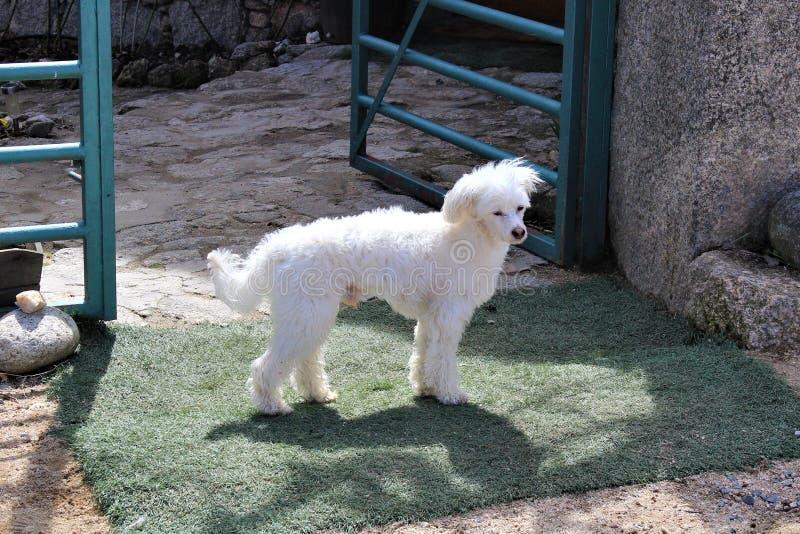 Pequeño perro blanco en la puerta imagen de archivo