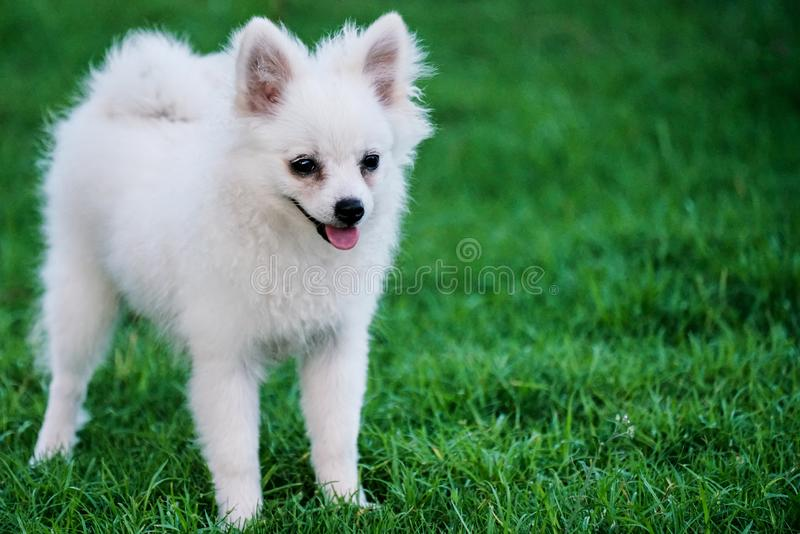 Pequeño perro blanco lindo que se sienta en la hierba imagen de archivo