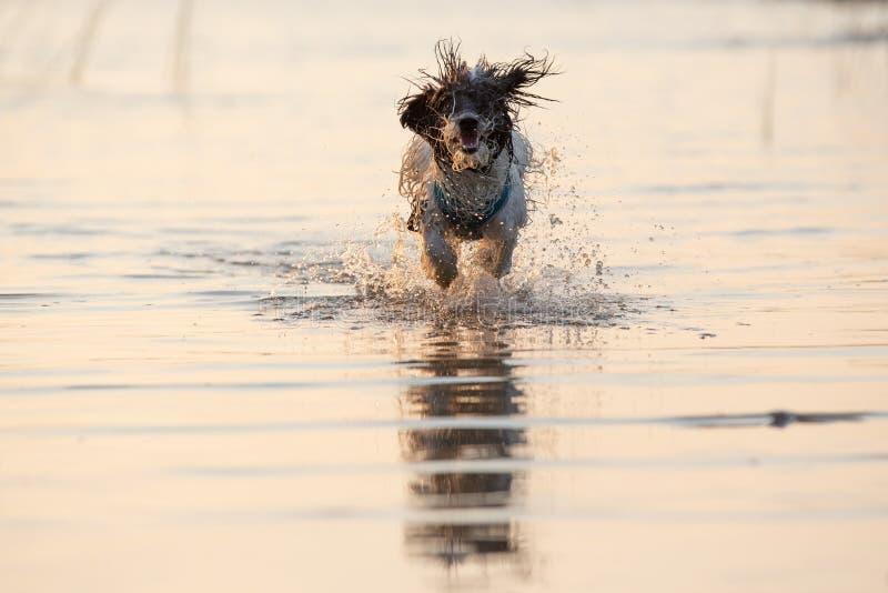 Pequeño perro blanco y negro que corre alrededor en aguas poco profundas imagenes de archivo