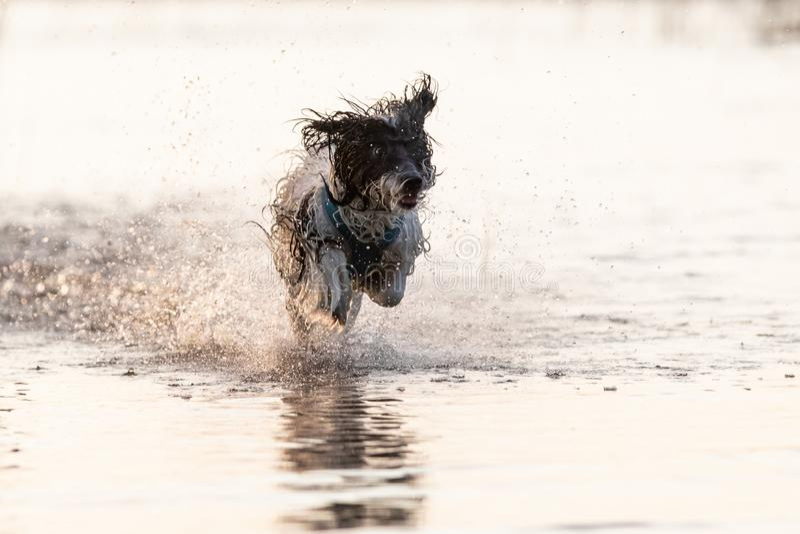 Pequeño perro blanco y negro que corre alrededor en aguas poco profundas fotografía de archivo