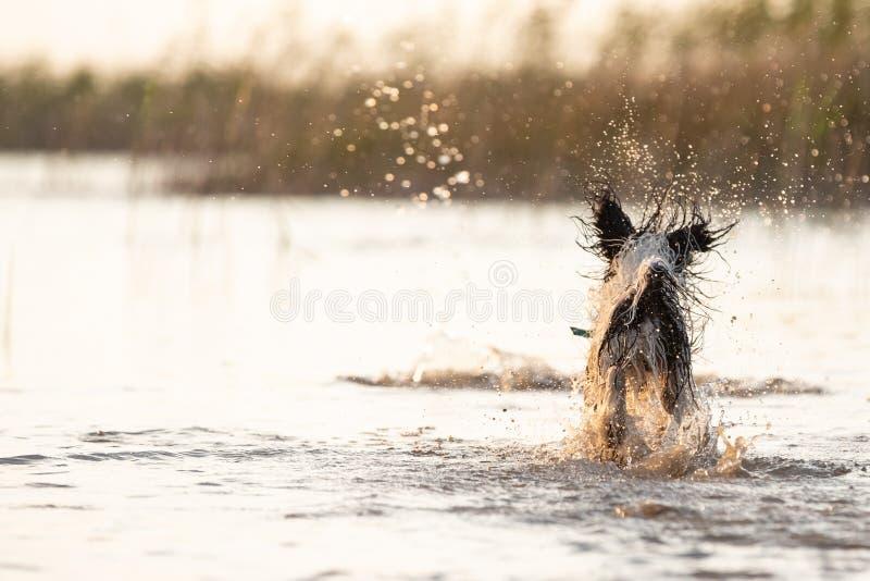 Pequeño perro blanco y negro que corre alrededor en aguas poco profundas foto de archivo