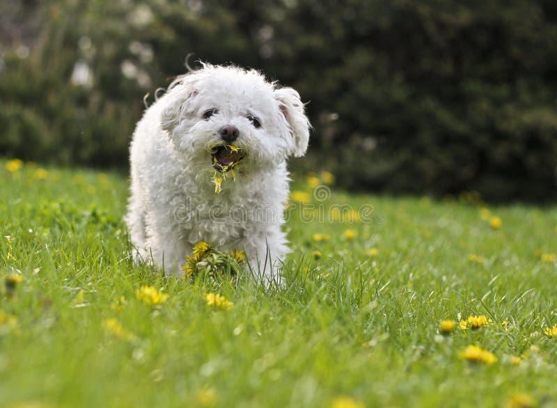Pequeño perro boloñés lindo que come los dientes de león foto de archivo