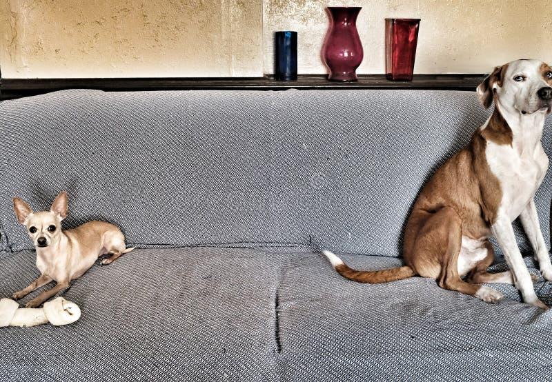 Pequeño perro codicioso foto de archivo libre de regalías