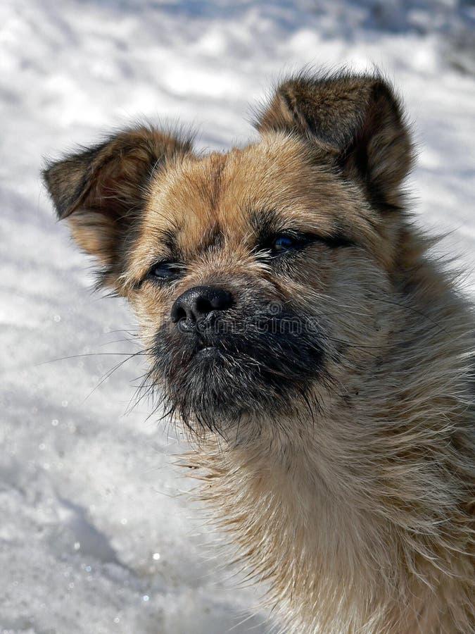 Pequeño perro con la pequeña barba 1 imagen de archivo