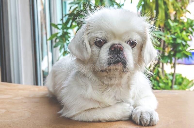 Pequeño perro de perrito blanco lindo del pekinés que se sienta en la tabla de madera foto de archivo