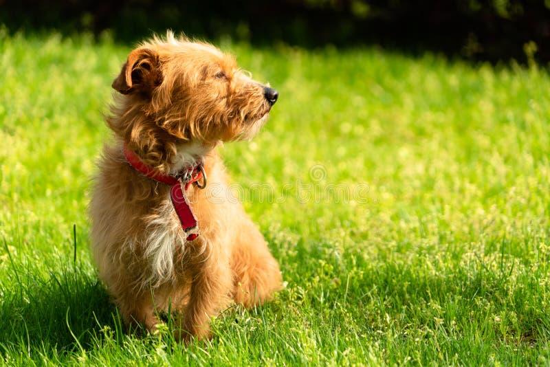 Pequeño perro de perrito havanese anaranjado feliz que se sienta en la hierba verde imágenes de archivo libres de regalías