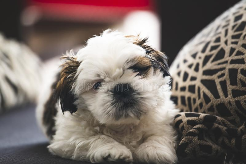 Pequeño perro de perrito de Shi Tzu imagen de archivo libre de regalías