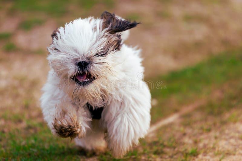 Pequeño perro de perrito de Shi Tzu imagen de archivo