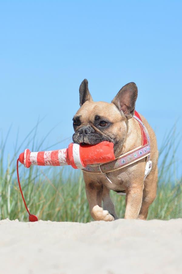 Pequeño perro del dogo francés con el arnés náutico que lleva un juguete grande del perro del faro en bozal en dunas de arena con imagenes de archivo
