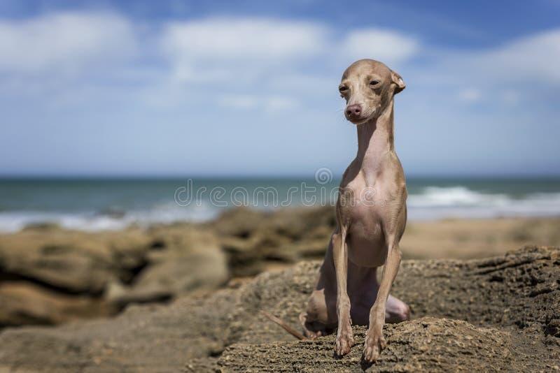 Pequeño perro del galgo italiano en la playa fotos de archivo
