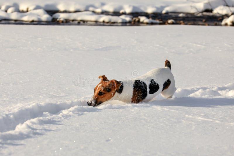 Pequeño perro del terrier de Jack Russell que vadea en la nieve profunda, cristales de hielo o su nariz imagen de archivo libre de regalías