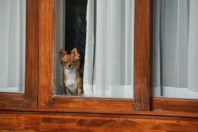 Pequeño perro dentro de la casa que mira hacia fuera de ventana fotos de archivo libres de regalías