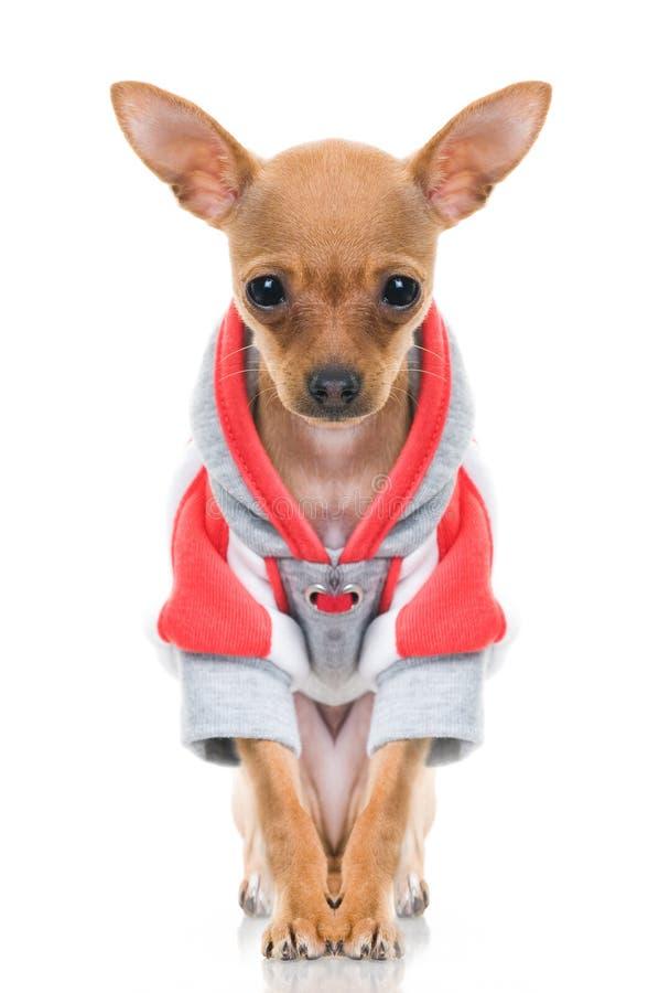 Pequeño perro divertido en chaqueta imagen de archivo