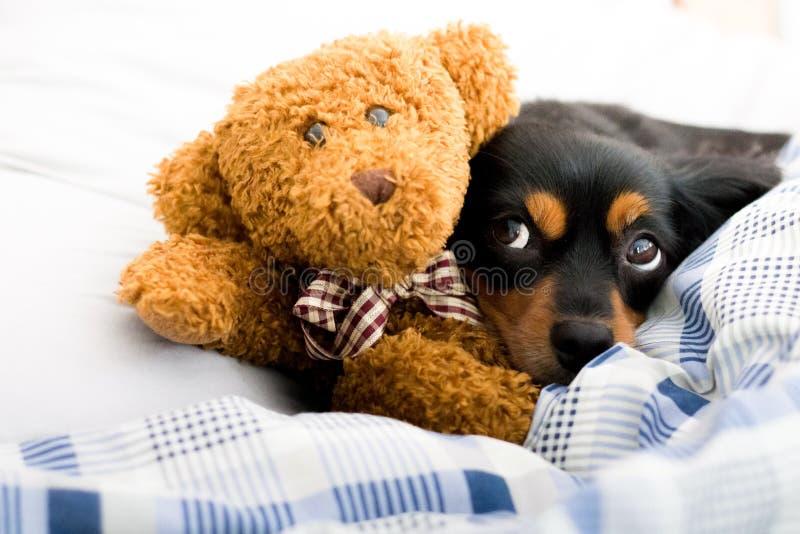 Pequeño perro en cama que abraza un oso de peluche marrón lindo fotos de archivo