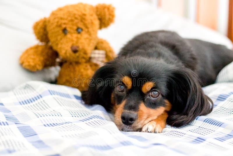 Pequeño perro en cama que abraza un oso de peluche marrón lindo imágenes de archivo libres de regalías
