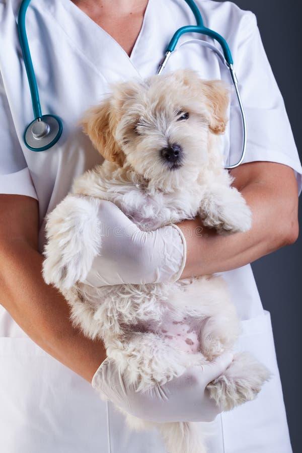 Pequeño perro en el veterinario fotos de archivo