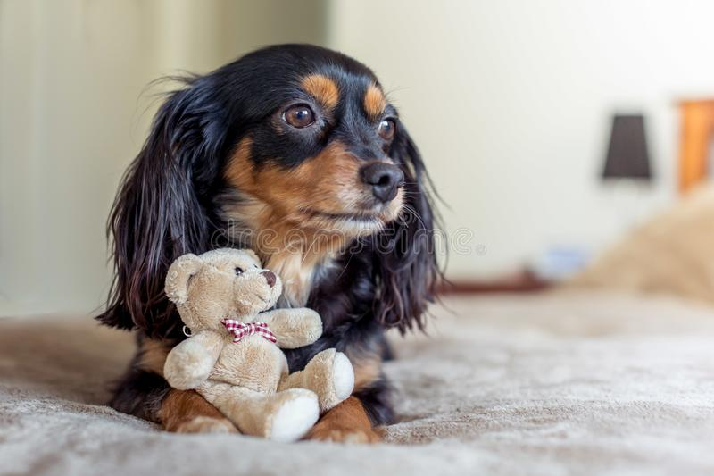 Pequeño perro en una cama con un oso de peluche lindo fotos de archivo libres de regalías