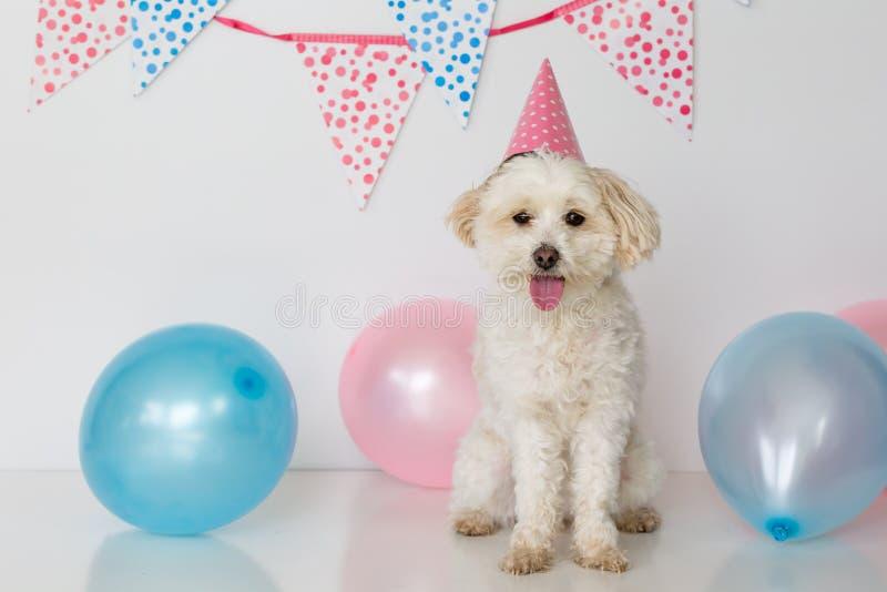 Pequeño perro femenino con el sombrero del partido encendido y los globos fotografía de archivo libre de regalías