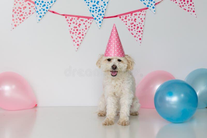 Pequeño perro femenino con el sombrero del partido encendido y los globos fotos de archivo libres de regalías