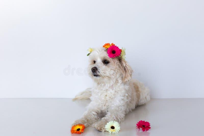 Pequeño perro femenino de la cruz maltesa que se acuesta con las flores brillantes en un fondo blanco fotos de archivo