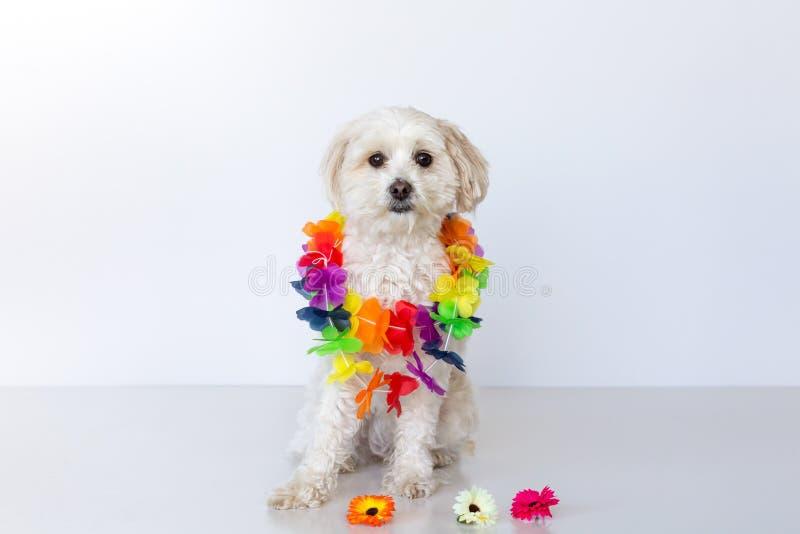 Pequeño perro femenino de la cruz maltesa que se sienta con los leus de una flor alrededor de su kneck imagenes de archivo
