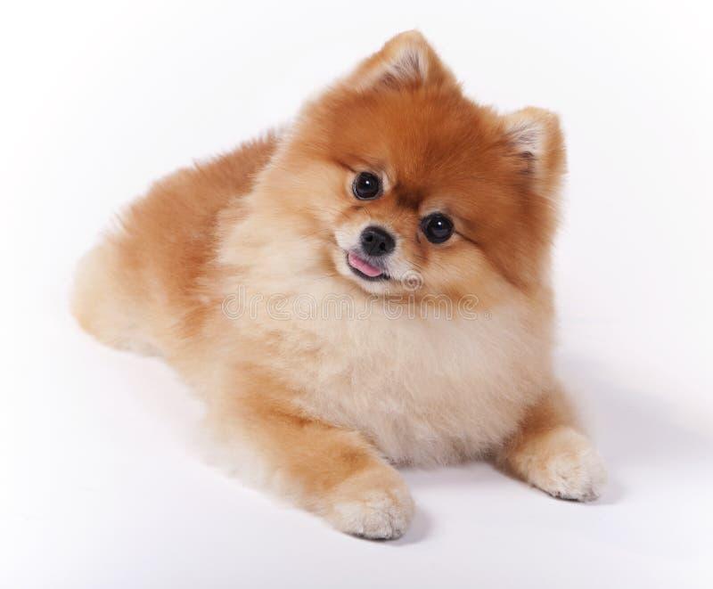 Pequeño perro femenino de la demostración del animal doméstico de Pomeranian fotos de archivo