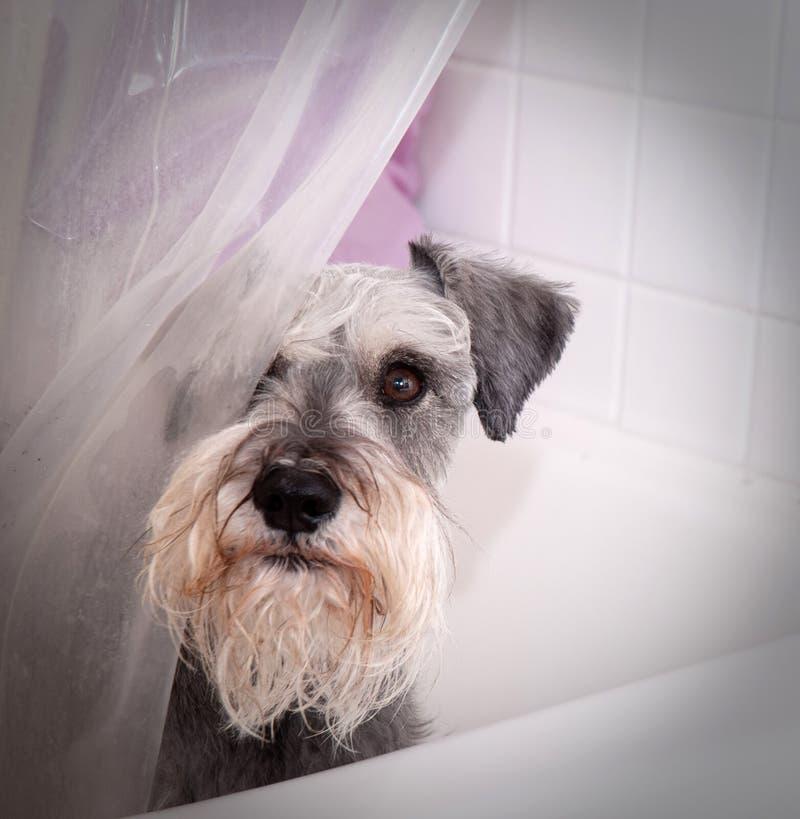 Pequeño perro gris en tina de baño imagen de archivo libre de regalías
