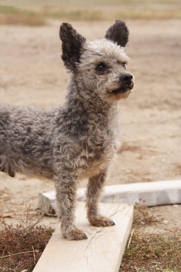 Pequeño perro guardián fotos de archivo