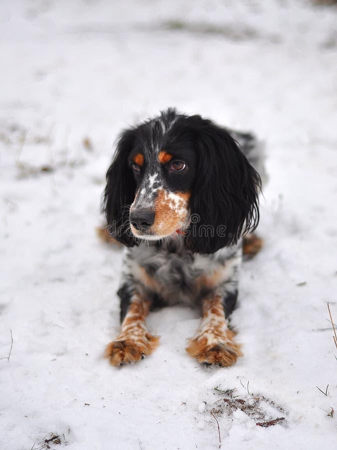 Pequeño perro lindo en la nieve y el pelo rojo blanco negro foto de archivo libre de regalías