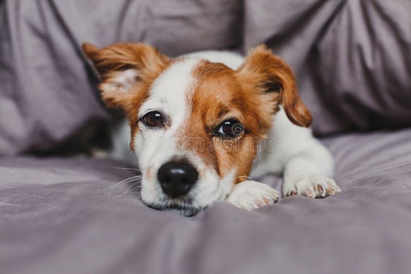 Pequeño perro lindo que miente en cama y que siente agujereado o cansado Animales dom?sticos dentro en casa foto de archivo libre de regalías
