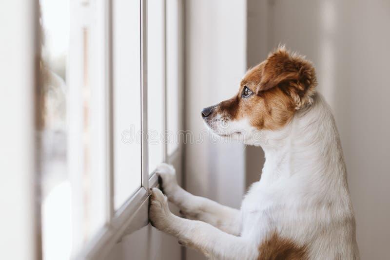 pequeño perro lindo que se coloca en dos piernas y que mira lejos por la ventana que busca o que espera a su dueño Animales dom?s imagen de archivo
